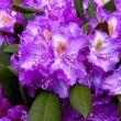 Rhododendron Pest megye, online kertészet